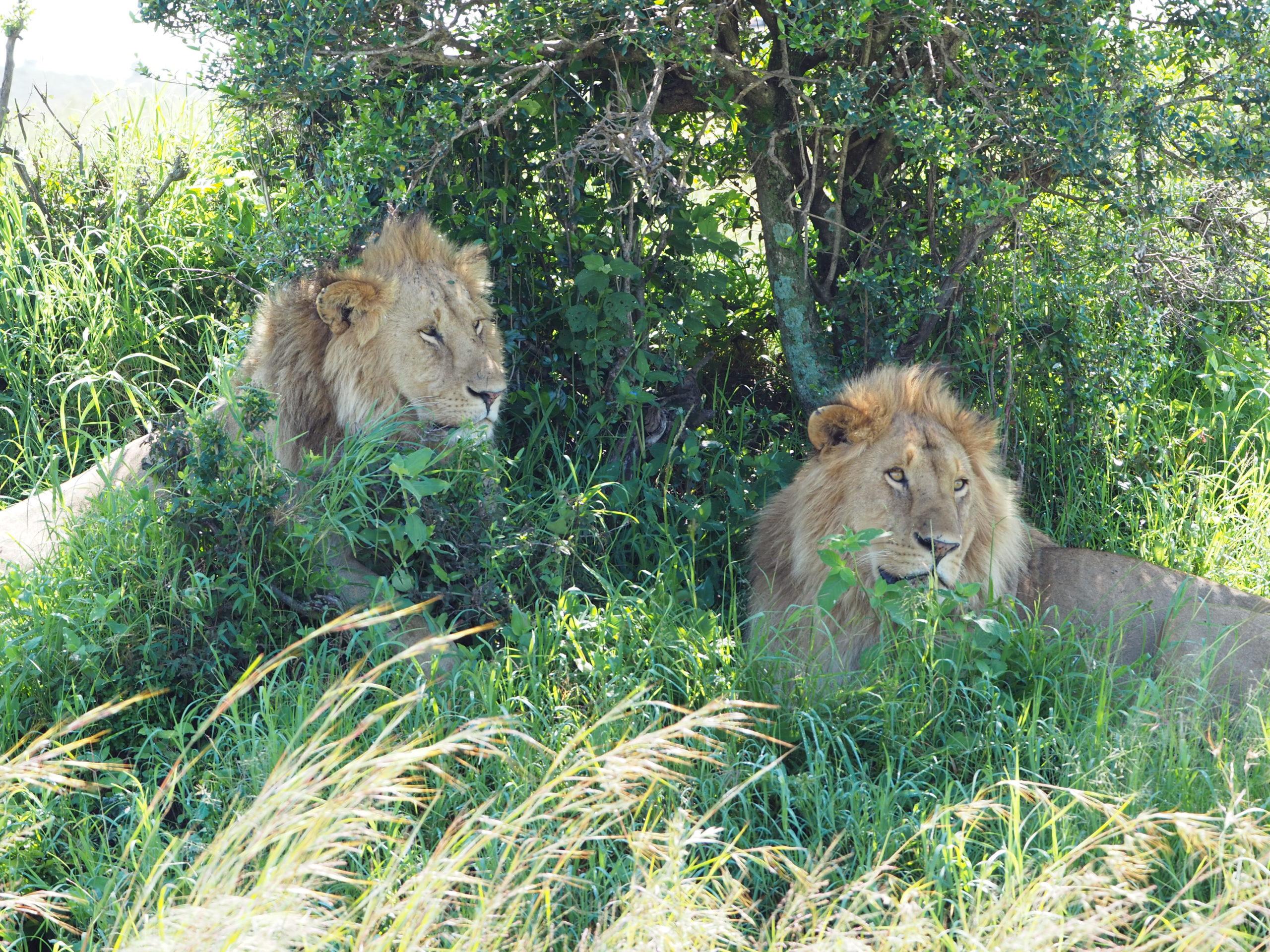 目の前にいる2匹のライオン